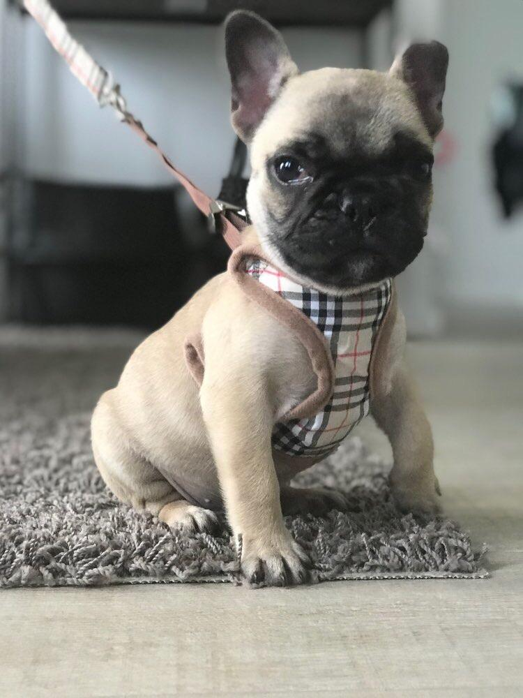 Barkberry Harness & Leash - Furbaby Couture